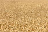 Mature gialle spighe di grano — Foto Stock