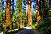 Famous big sequoia trees — Stock Photo