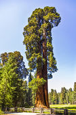Tall and big sequoias trees in sequoia national park — Stock Photo