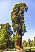 árboles altos y grandes secoyas en parque nacional sequoia — Foto de Stock