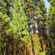 Tall and big sequoias trees in sequoia national park — Stock Photo #16920305
