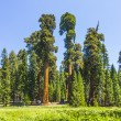Tall and big sequoias trees in sequoia national park — Stock Photo #16920363