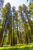 Tall and big sequoias in beautiful sequoia national park — Stock Photo