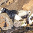 Goats in the mountains of lanzarote — Stock Photo