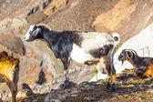 Cabras nas montanhas de lanzarote — Foto Stock