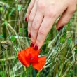 Stock Photo: Finger with red fingernail touching blooming poppy flower