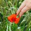Finger with red fingernail touching a blooming poppy flower — Stock Photo