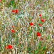Poppy flowers in the wild flower meadow — Stock Photo