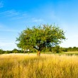 Beautiful typical speierling apple tree in meadow for the german — Stock Photo