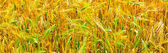 Fields of wheat at the end of summer fully ripe — Stock Photo