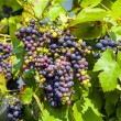 Grapes prosper well at the housewall — Foto Stock