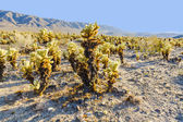 Beautiful Cholla Cactus Garden in Joshua Tree national park — Stock Photo