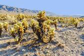 Beautiful Cholla Cactus Garden in Joshua Tree national park — Stock Photo