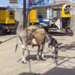Donkeys are used to transport heavy goods up to the construction - Стоковая фотография