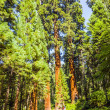 Famous big sequoia trees — Stock Photo