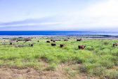 Cows graze fresh grass on a meadow in Andrew Molina State park a — Stock Photo