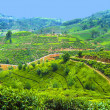 Green tea plantation in Sri Lanka - Stock Photo