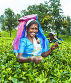 Harvest in the tea fields — Stock Photo