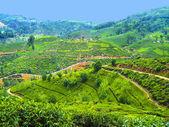 Green tea plantation in Sri Lanka — Stock Photo