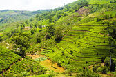 Green tea plantation in Sri Lanka — Stock Photo