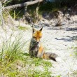 Fox in the dunes at the beach - 图库照片