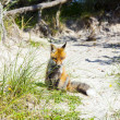 Fox in the dunes at the beach - Lizenzfreies Foto