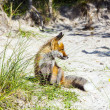 Fox in the dunes at the beach - Stock Photo