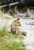 Fox in the dunes at the beach — Stock Photo