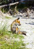ビーチで砂丘を狐します。 — ストック写真