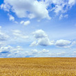 Corn field under blue sky — Stock Photo