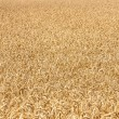 Ripe yellow ears of wheat — Stock Photo #18160241