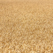 Ripe yellow ears of wheat — Stock Photo