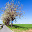 Bicycle lane with blooming tree in spring — Stock Photo