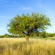 Beautiful typical speierling apple tree in meadow for german — Stock Photo #18207747
