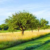 Schöne typische Speierling Apfelbaum in Wiese für den deutschen — Stockfoto