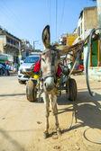 âne avec charrette — Photo