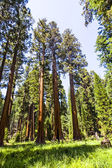 Uzun ve büyük Sequoias güzel sequoia national Park — Stok fotoğraf