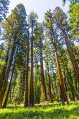 Big sequoia trees in Sequoia National Park near Giant village ar — Foto de Stock