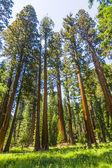 Grandi sequoie nel parco nazionale di sequoia vicino ar villaggio gigante — Foto Stock