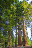 Big sequoia trees in Sequoia National Park near Giant village area — Stock Photo
