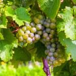 Beautiful rapes in the vineyard — Stock Photo #19612025
