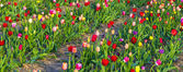 Beautiful tulips in the field — Stock Photo