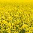 Pattern of yellow rape field — Stock Photo