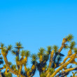 Joshua tree in warm bright light — Stock Photo