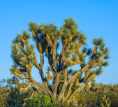 Joshua tree in warm bright light — Stock Photo