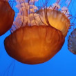 Beautiful Jelly fishes swim in the blue ocean - Stock Photo