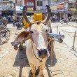 Stockfoto: Ox cart transportation in india