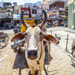 Stock Photo: Ox cart transportation in india