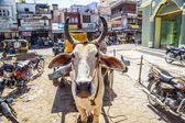 Ox cart transportation in india — Stock Photo