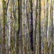 Pattern of trees in forest — Stock Photo